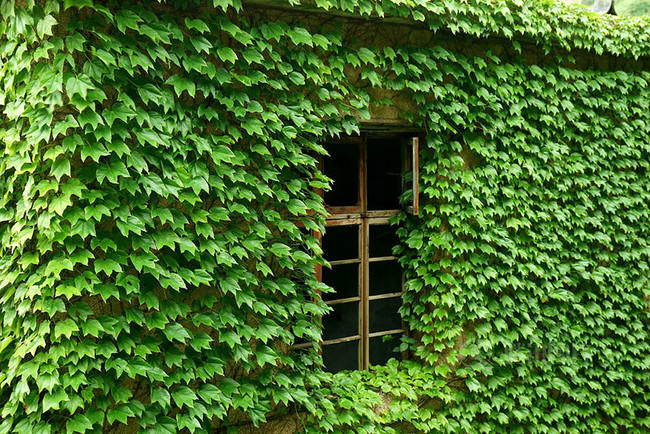 Ivy Reclaims an Abandoned Village, and It's Beautiful