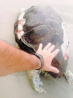 Tartaruga foi encontrada morta sem cabeça na Praia Central, altura da rua 3100. Foto: Luiz Camargo.