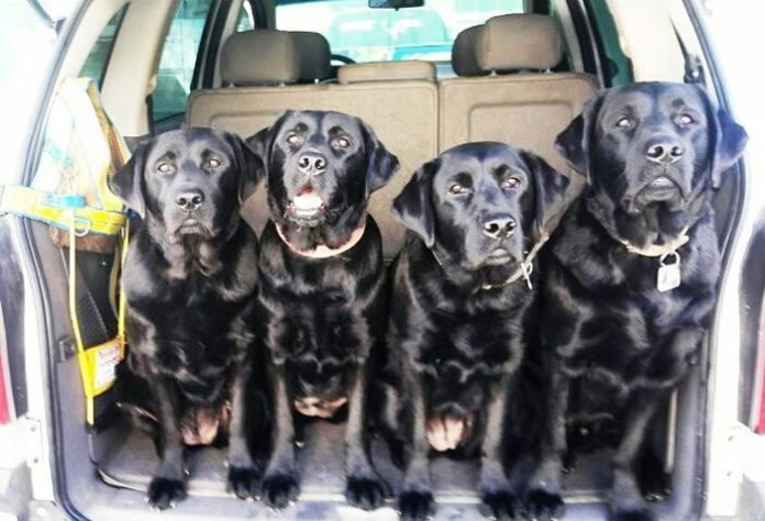 Hoje estão em treinamento os cães da primeira ninhada própria da escola, são eles: Alegria, Angra Arya e Atchim. Com a nova sede será possível formar 30 guias por ano. (Renan Silveira Ewald/divulgação)