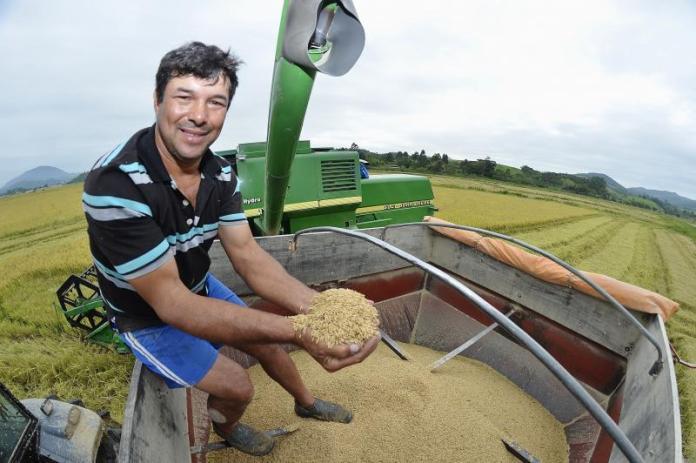 Produtividade do arroz aumenta 40 em Itajaí