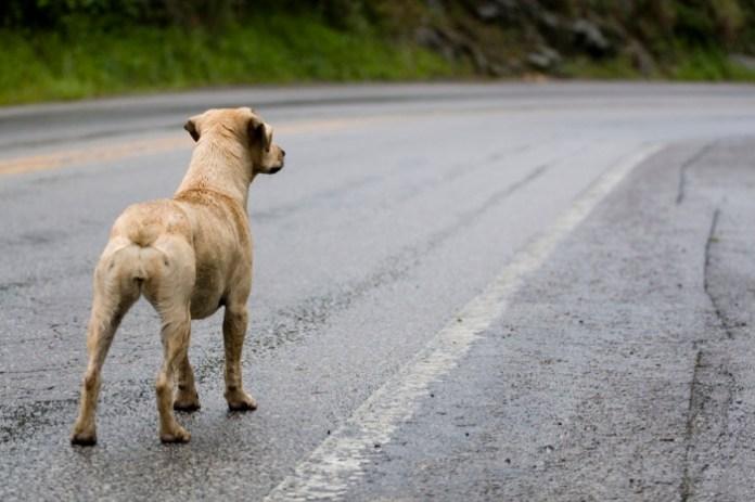 cachorro rodovia