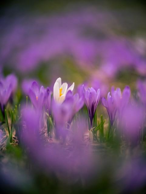 Frühlingsblumen - Sigma 105mm
