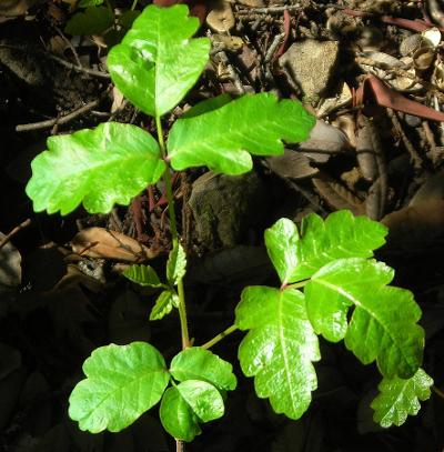 Poison-Oak, California