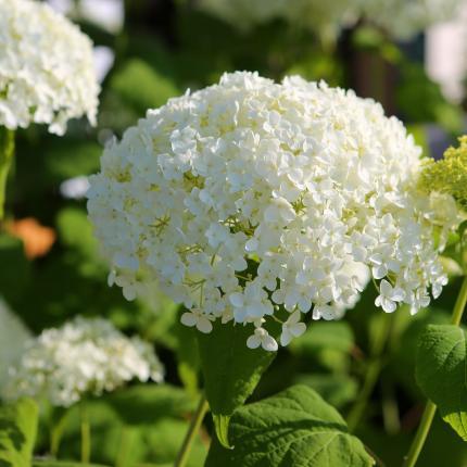 View The Full Image Clifton Nurseries Hydrangea Arborescens Annabelle Flower