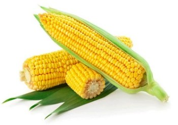 Corn, the first GMO