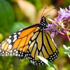La Farfalla e la Cicuta