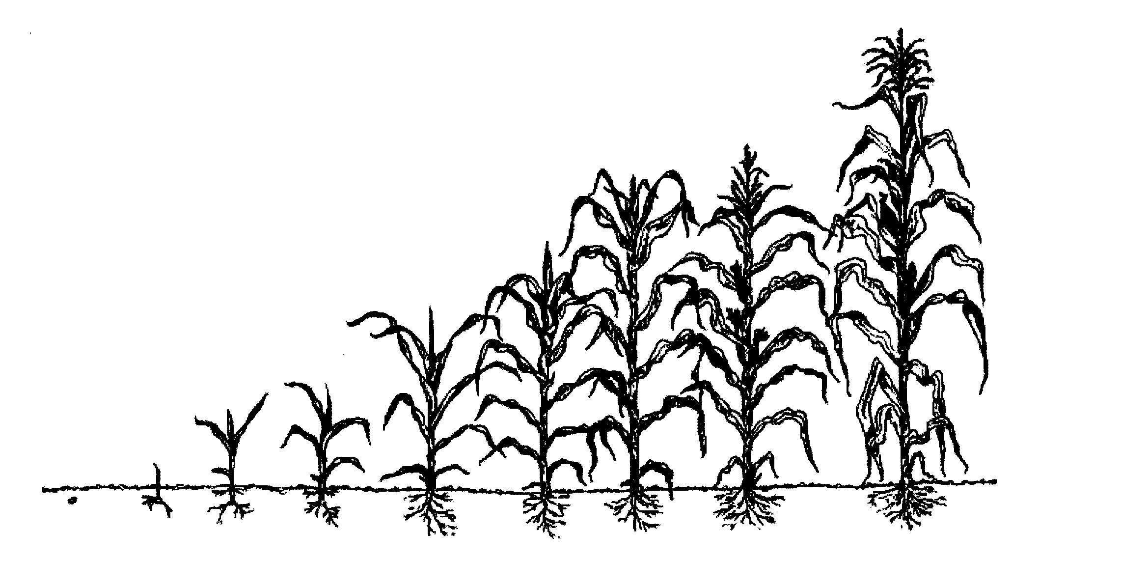 Maize Draw Plant Logo