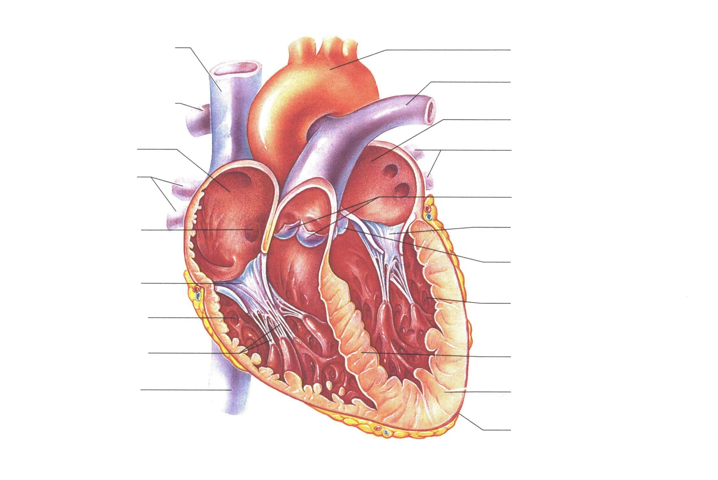 Unlabelled Diagram Of The Heart