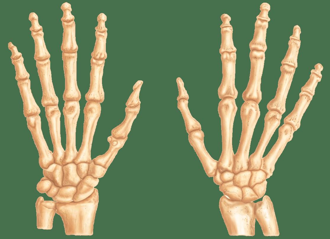 Arm Bones Labeled