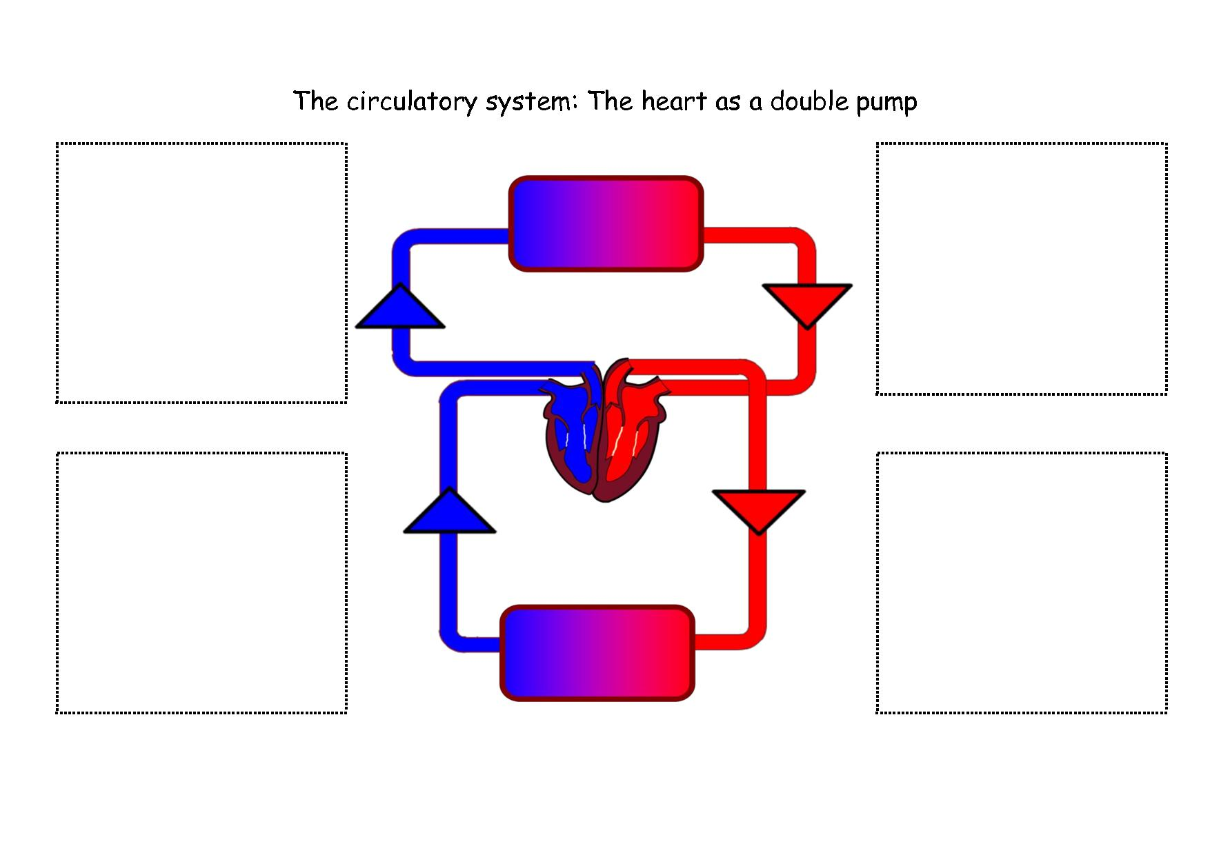Circulatory System Simple Diagram
