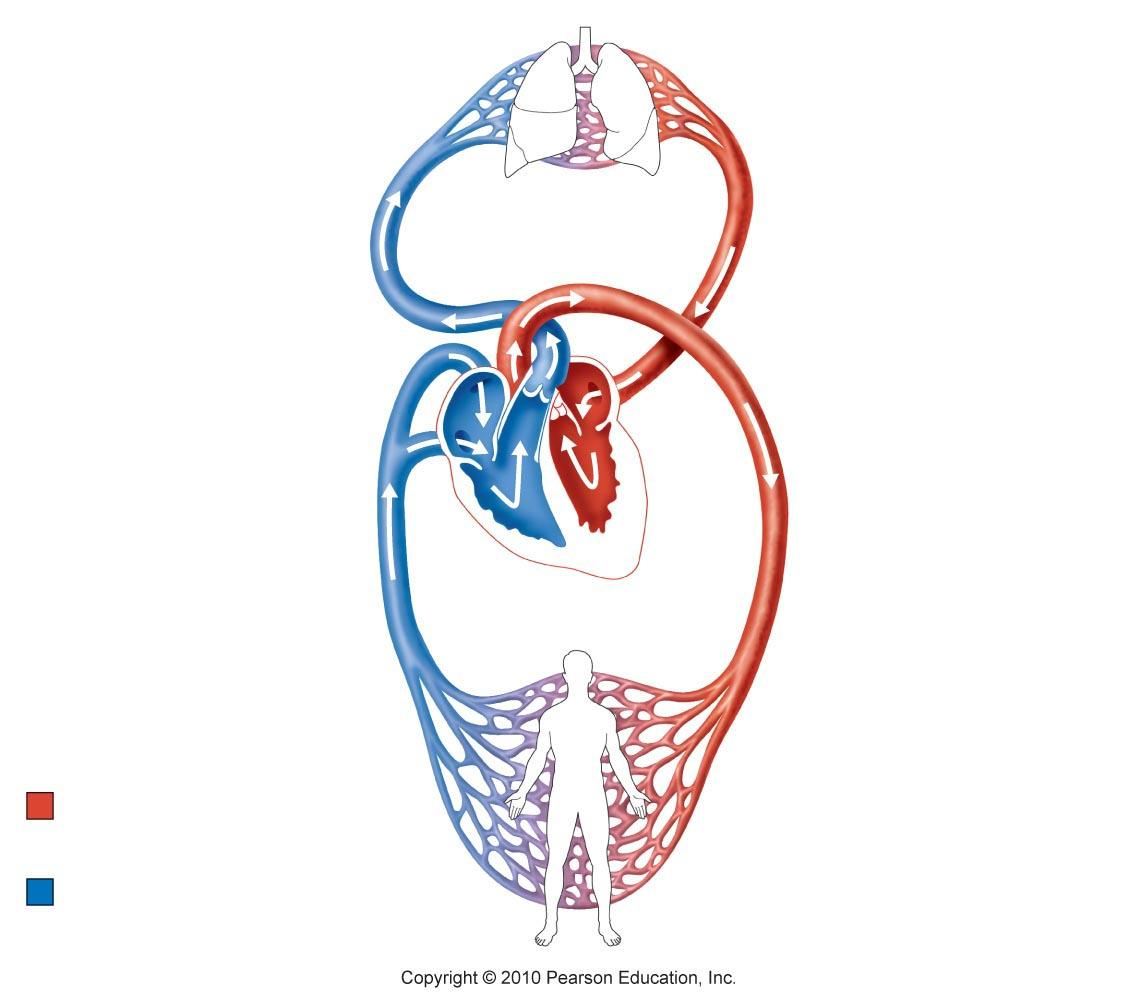 Circulatory System Diagram Unlabeled