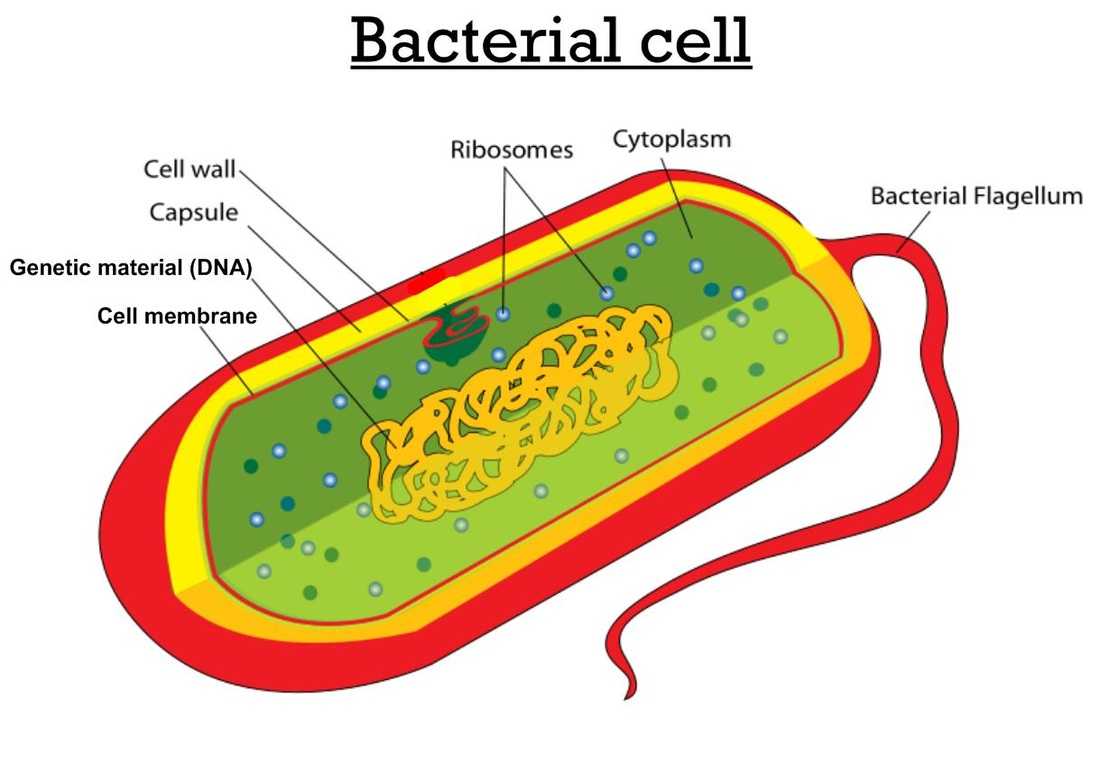 Diagram Of A Prokaryotic Animal Cell