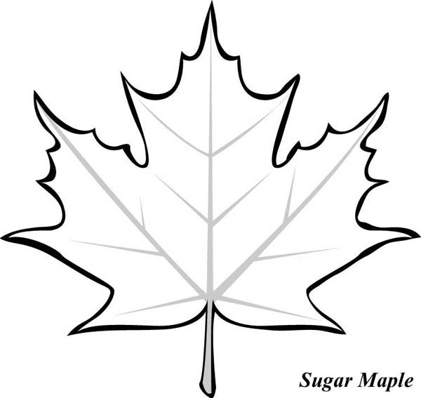 sugar maple leaf picture coloring page kids play color