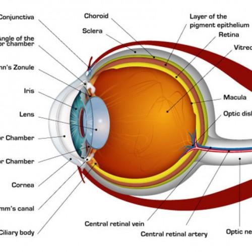 Unlabeled Eye Diagram - Human Anatomy Body Human Eye ...