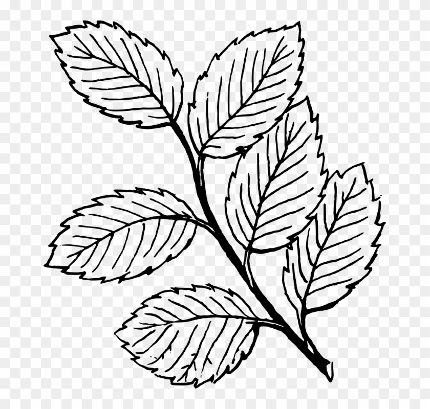 Fall Tree Clipart Black And White Vines Leaves Coloring Pages Free Transparent Png Clipart Images Download