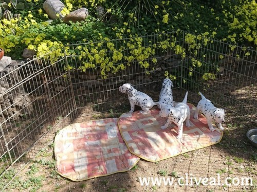 4 dalmatians puppies