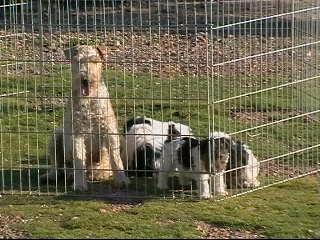 Cachorros de fox terrier en un parque de cachorros