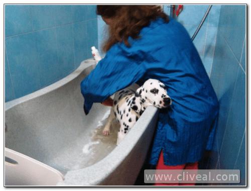 baño del cachorro dálmata