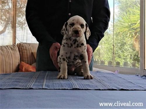 bipedalis brunneus de cliveal cachorro