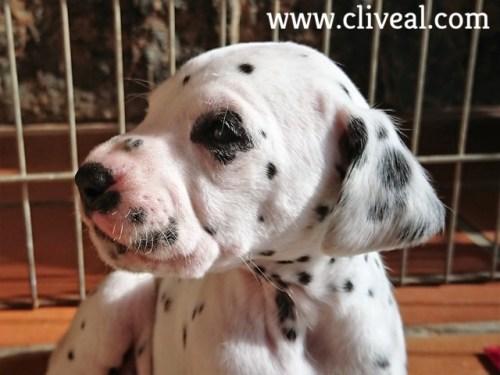 cabeza cachorro dalmata cliveal