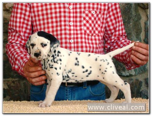 cachorra dálmata catilina de cliveal 1