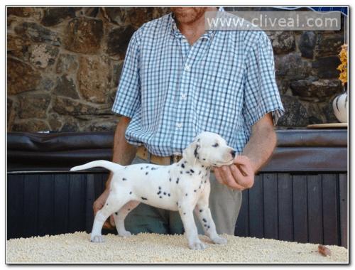 cachorra dalmata exempli gratia de cliveal