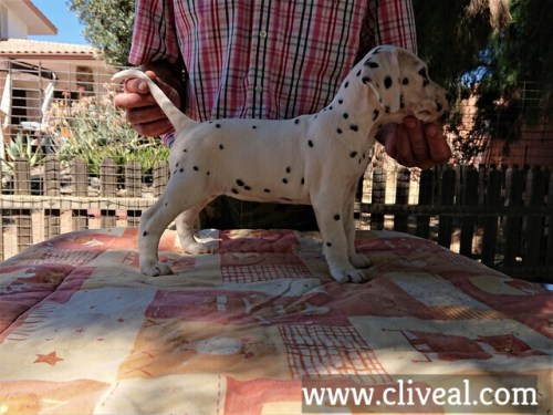 cachorra dalmata garumna de cliveal costado derecho