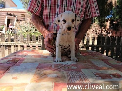 cachorra dalmata garumna de cliveal frente