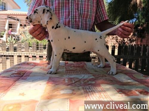 cachorra dalmata kalendae de cliveal costado izquierdo
