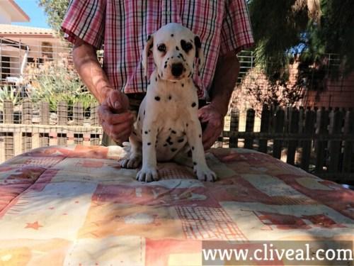 cachorra dalmata kalendae de cliveal frente