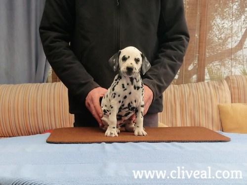 cachorra dalmata phalarica de cliveal 2