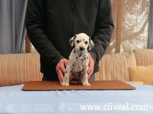 cachorra dalmata reginae domi de cliveal 2