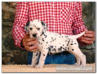 cachorra dálmata reluxi de cliveal 1