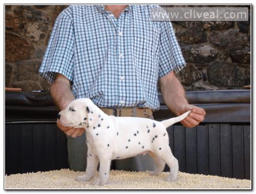 cachorro dalmata alicunde de cliveal