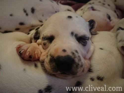 cachorro 21 dias