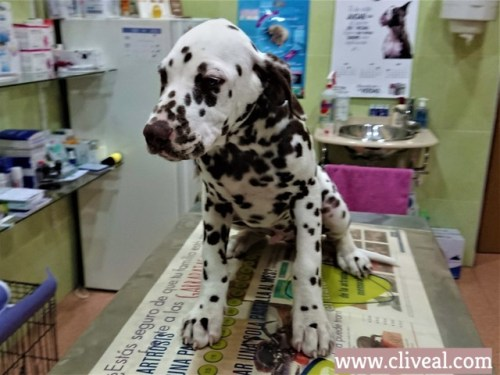 cachorro dalmata Bizkaya
