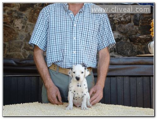 cachorro dalmata de nombre admirator de cliveal
