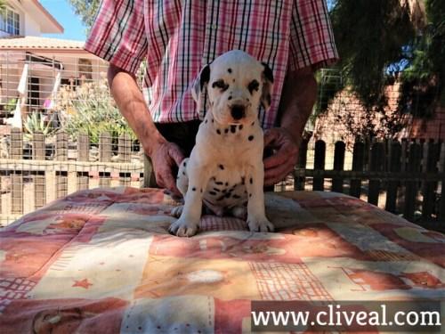 cachorro dalmata ancipitis de cliveal frente