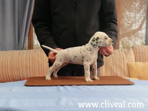 cachorro dalmata balteus de cliveal 1