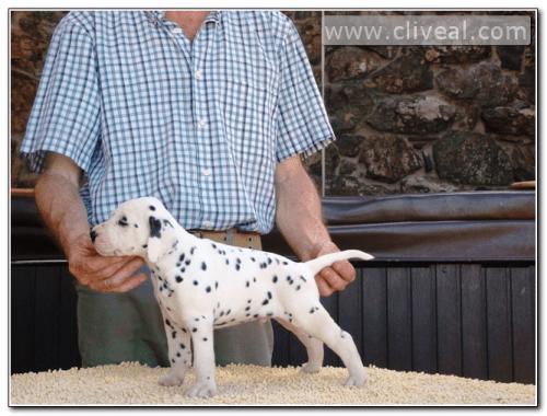 cachorro dalmata que se llama codex atlanticus de cliveal