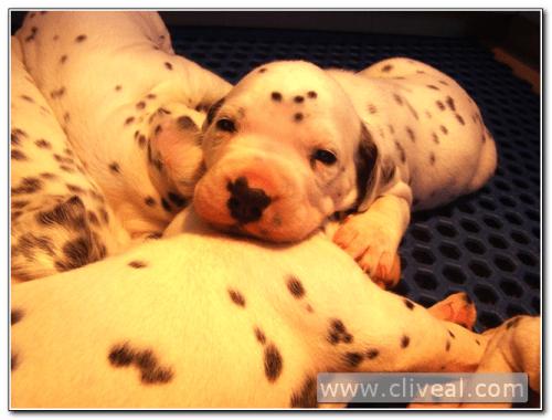 cachorro dálmata con ojos abiertos