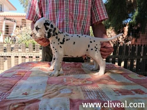 cachorro dalmata danaus de cliveal costado izquierdo