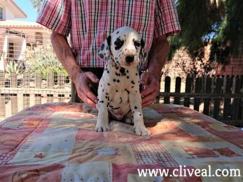cachorro dalmata danaus de cliveal frente