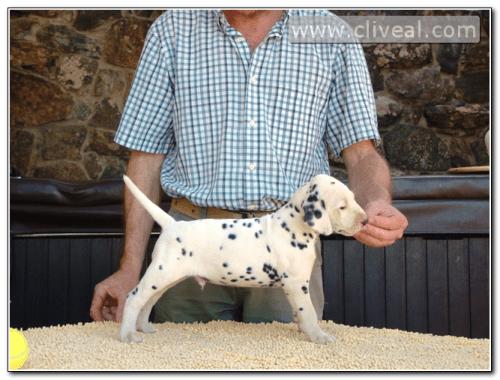 cachorro dalmata llamado dum licet fuere de cliveal