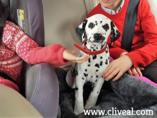 cachorro dalmata en coche