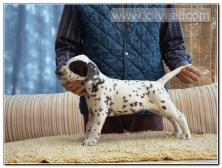 cachorro-dalmata-hembra-color-marron-Aliqua-de-Cliveal-1