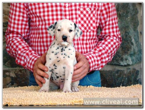 cachorro dalmata involucrum de cliveal 2