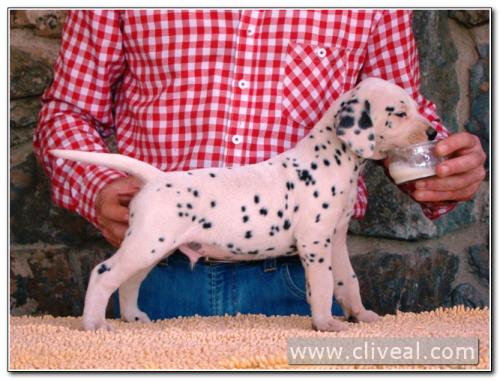 cachorro dalmata involucrum de cliveal