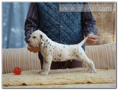 cachorro-dalmata-macho-Auster-de-Cliveal