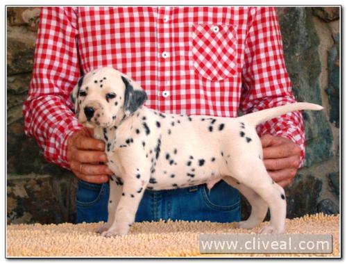cachorro dalmata modius de cliveal 1
